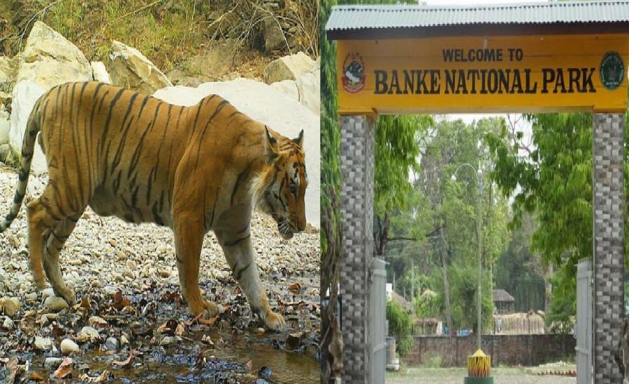 बाँके राष्ट्रिय निकुञ्जमा बाघको सङ्ख्या बढ्यो, वन्यजन्तु असुरक्षित
